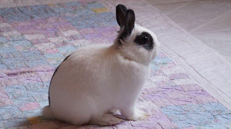 mini rex rabbit side view