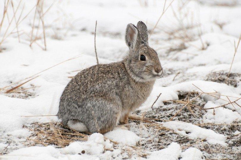 mountain cottontail rabbit on snow