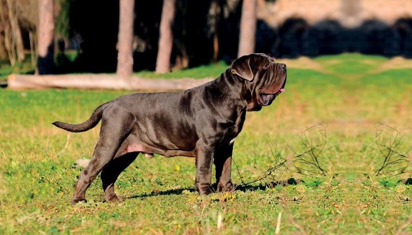 neapolitant mastiff_Ricantimages_Shutterstock