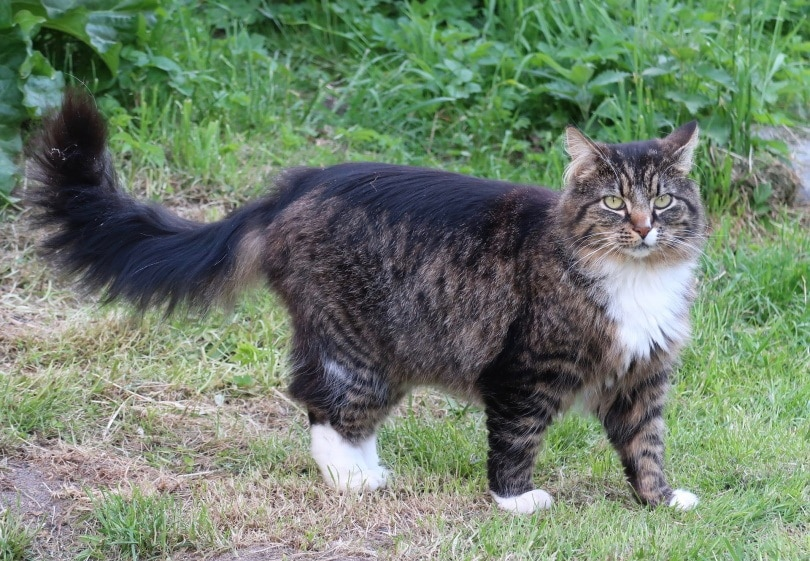 norweigian cat_Fritz_the_Cat_Pixabay