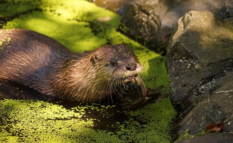 otter bad smell_Bernd Hildebrandt_Pixabay