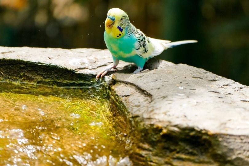 parakeet and water_Dominic Winkel_Pixabay