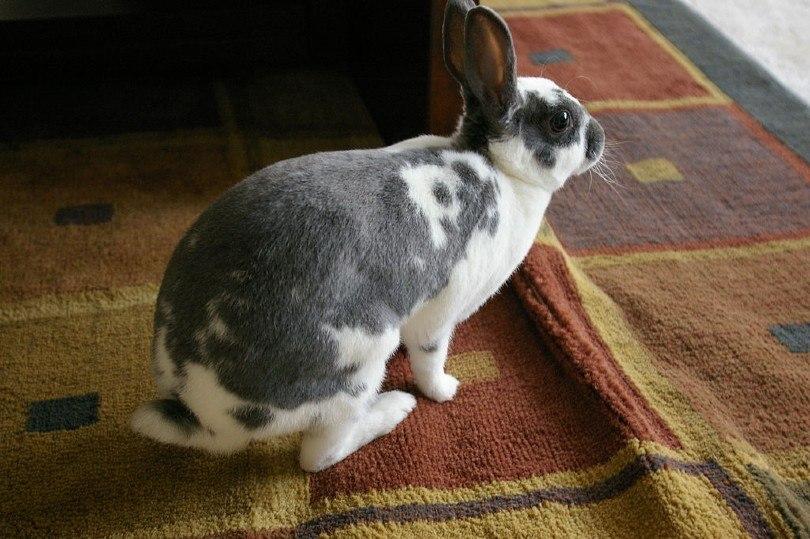 patterned mini rex rabbit