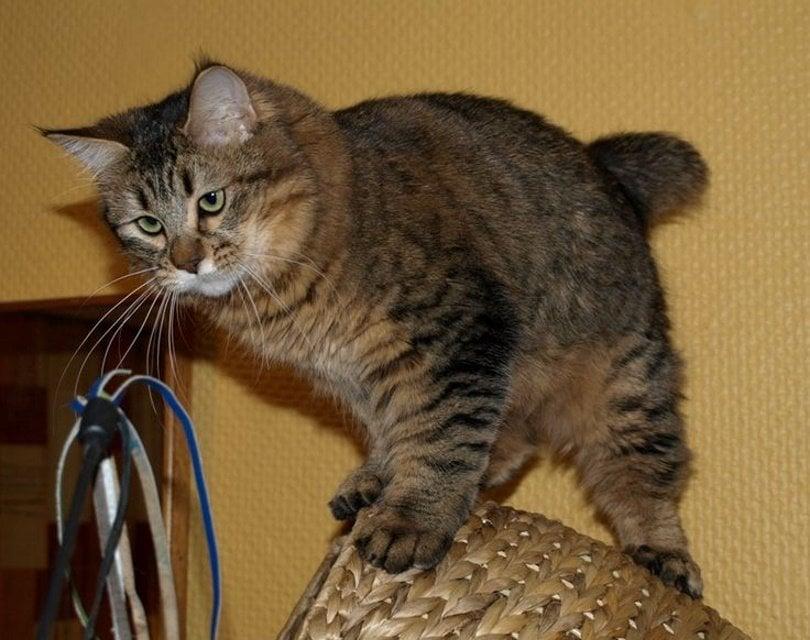 pixiebob cat_Pixiebob_Wikimedia