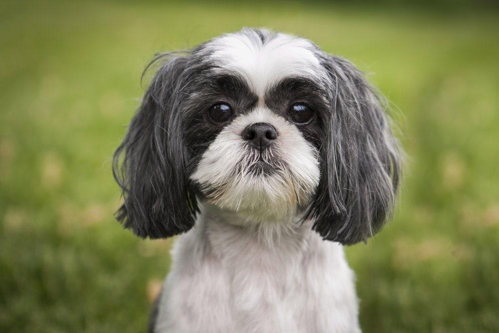 shih tzu puppy dog eyes