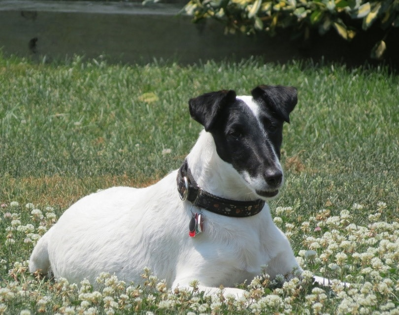 smooth fox terrier_Charlotte Yealey_Pixabay