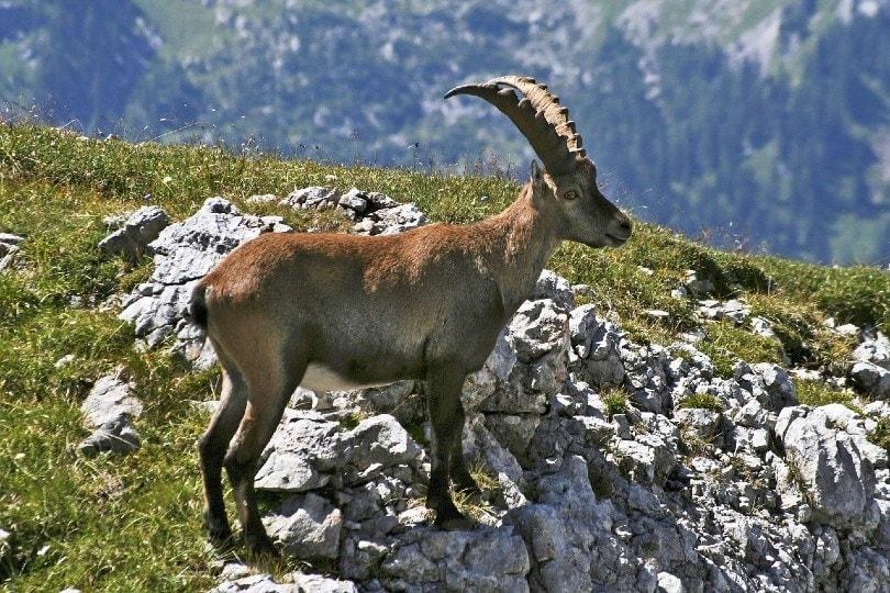 spanish goat on a mountain
