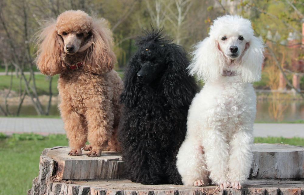 three poodles white black brown