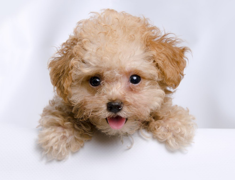 toy teacup poodle puppy