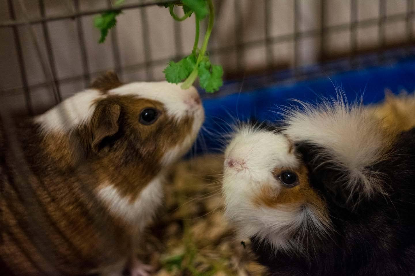two guinea pig inside cage with cilantro