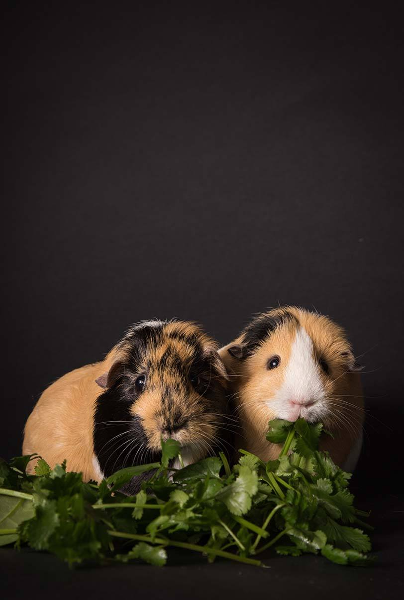 two guinea pigs eating cilantro