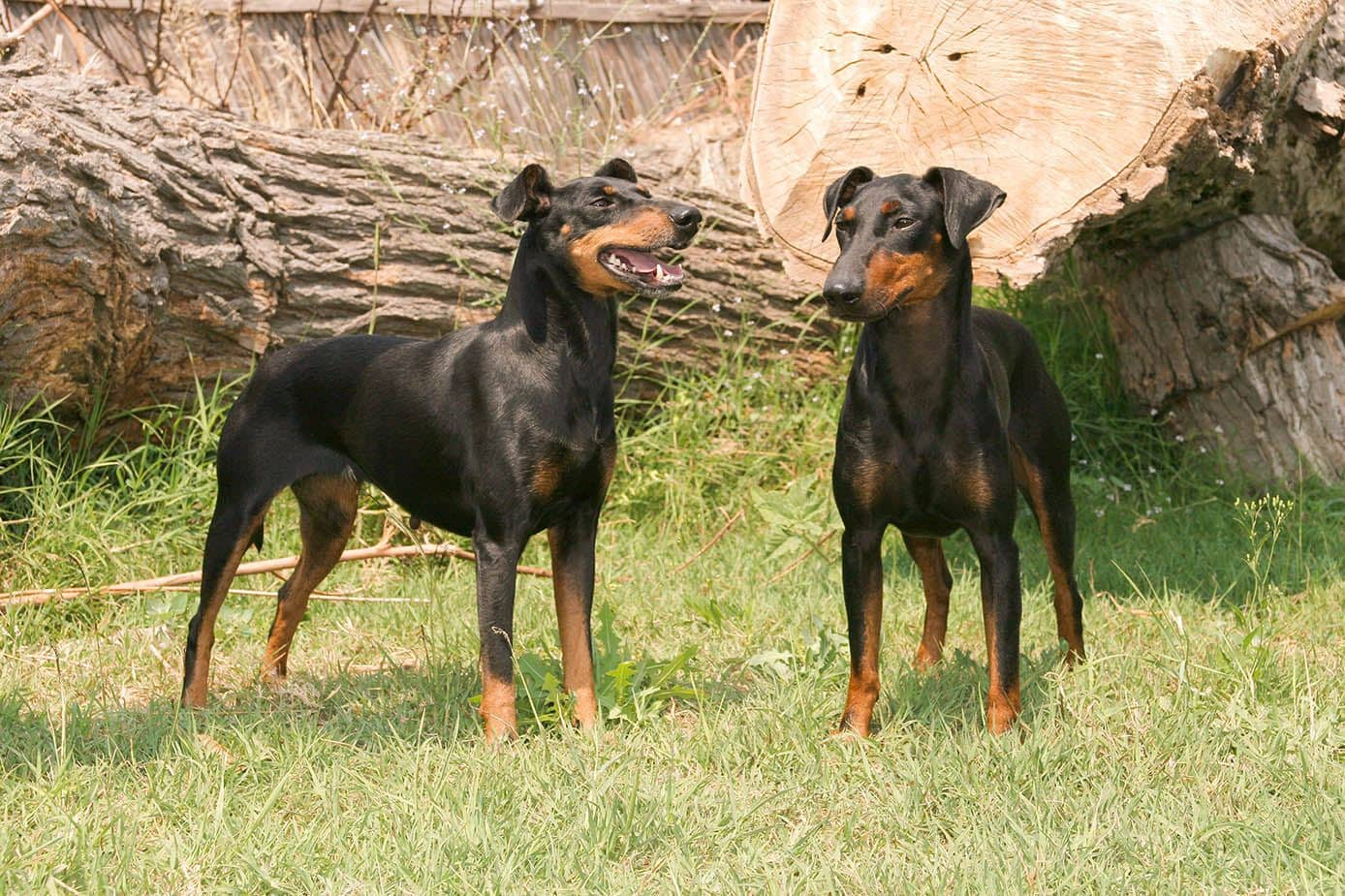 two Manchester Terriers