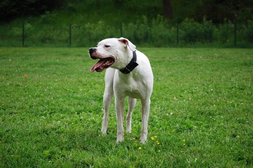 white dogo argentino_thereseb87, Pixabay