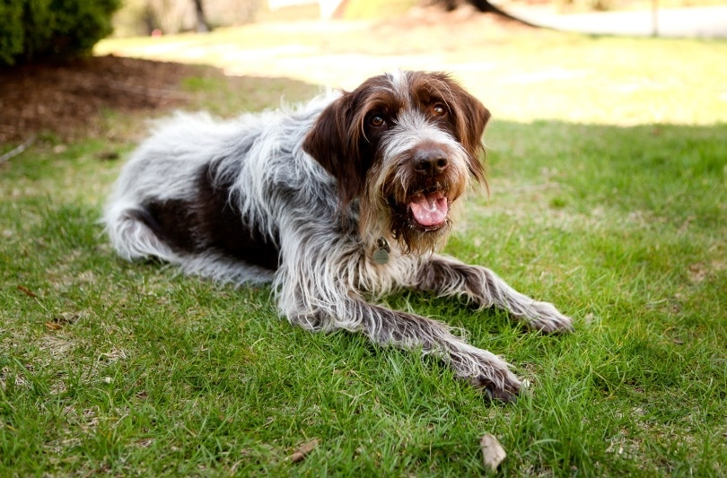 wirehaired_Brook Robinson_Shutterstock