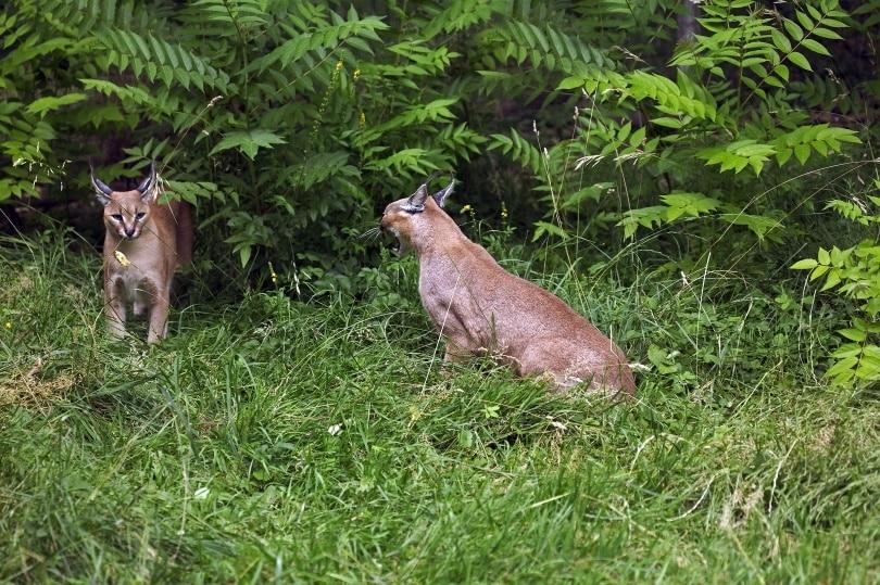 2 caracals in wild_slowmotiongli_Shutterstock