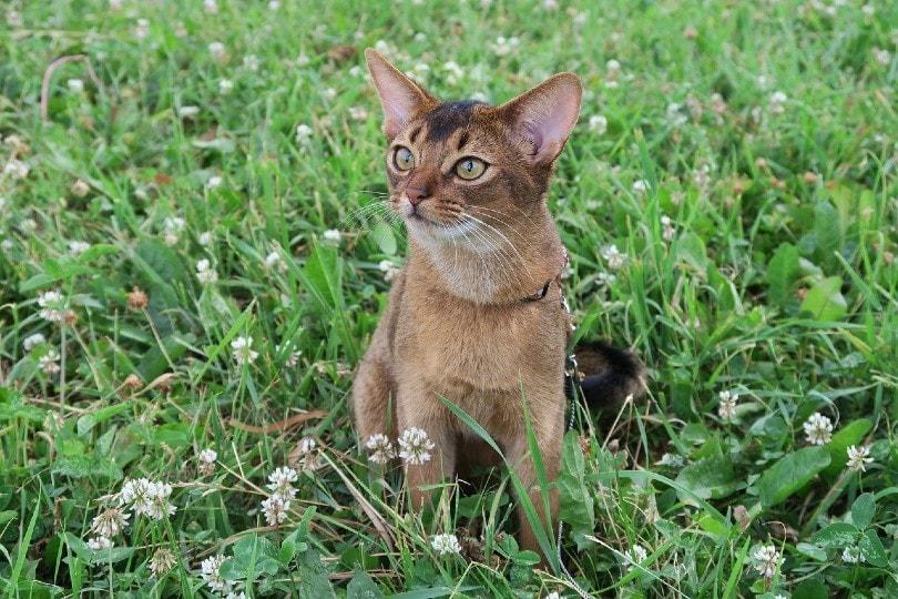 घास पर बैठी एबिसिनियन बिल्ली