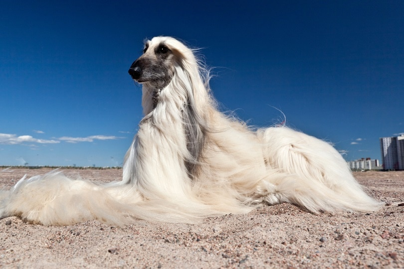 Afghan Hound lying on the sand