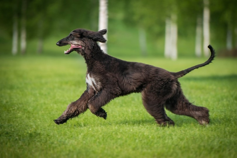 Afghan hound running on the grass
