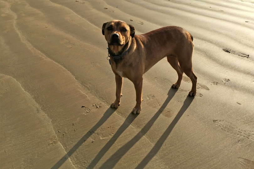American Bandogge Mastiff_ChameleonsEye_Shutterstock