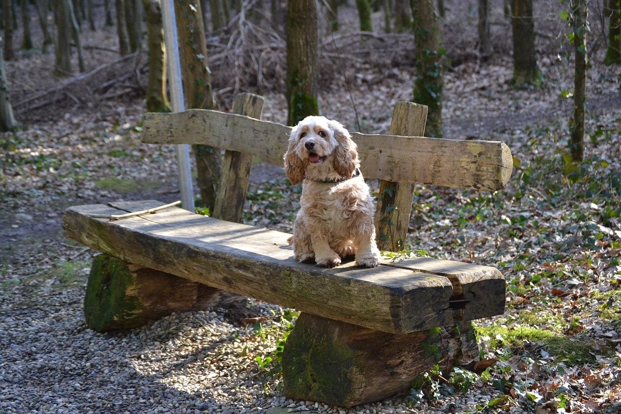 American Cocker Spaniel on bench