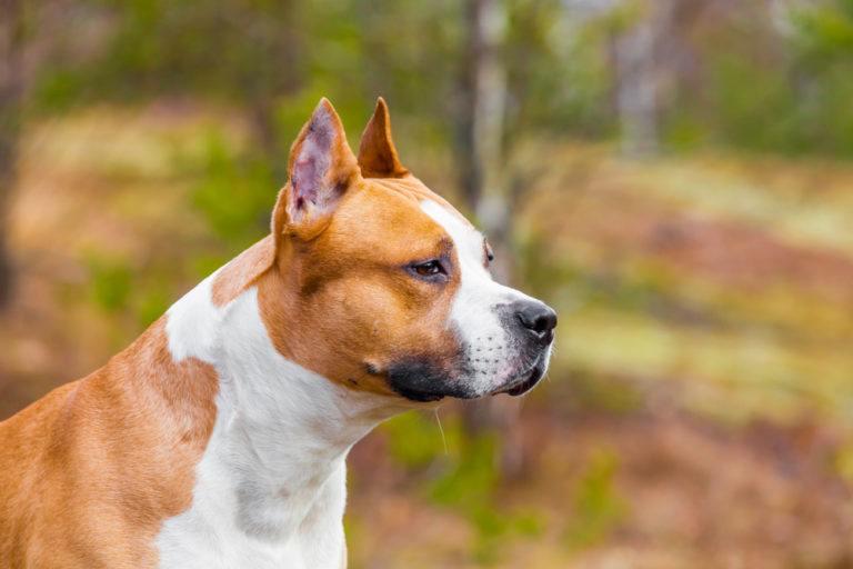 American Staffordshire Terrier_Shutterstock_Vladimirkarp