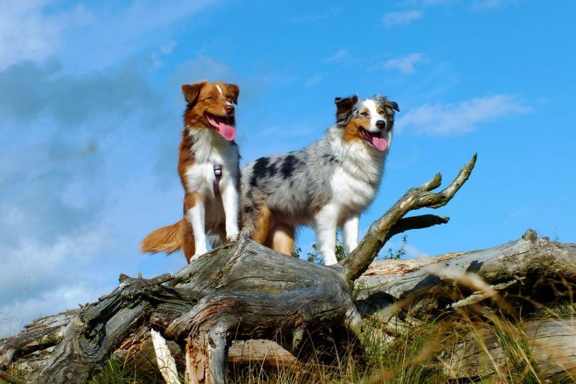 Australian shephered dogs_Nordwind_Pixabay