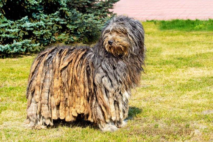 Bergamasco Sheepdog_volofin, Shutterstock