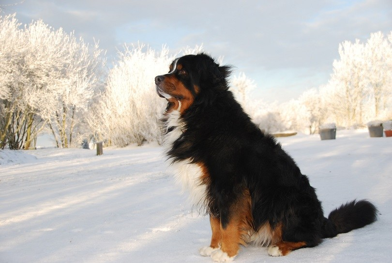 Bernese-Mountain-Dog-in-the-snow