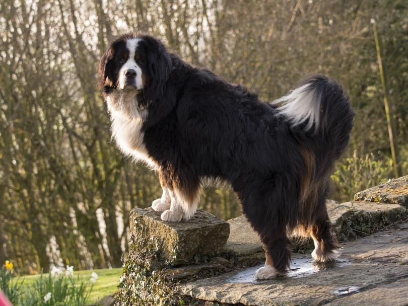 Bernese mountain dog_david muscroft_Shutterstock