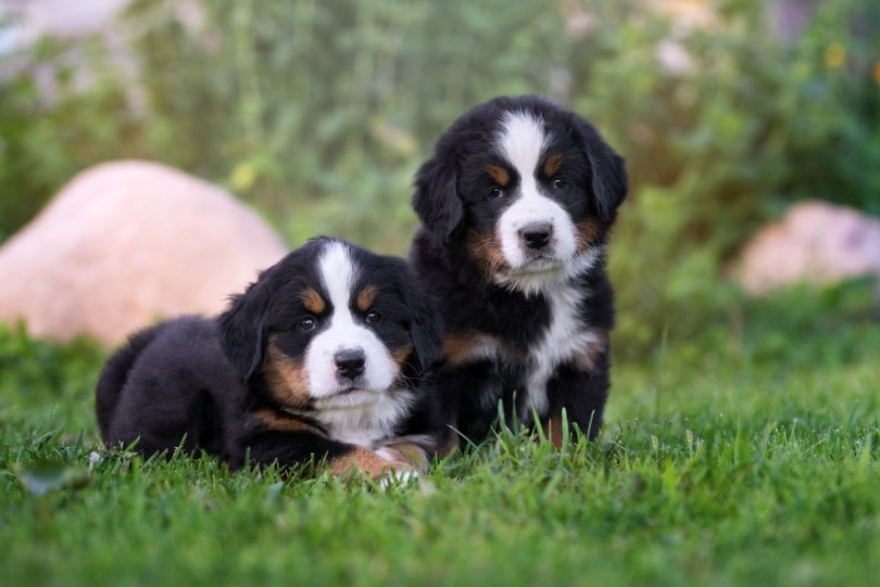 Bernese mountain dog_otsphoto_Shutterstock