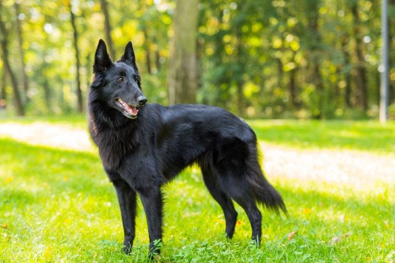 Black Belgian Sheepdog