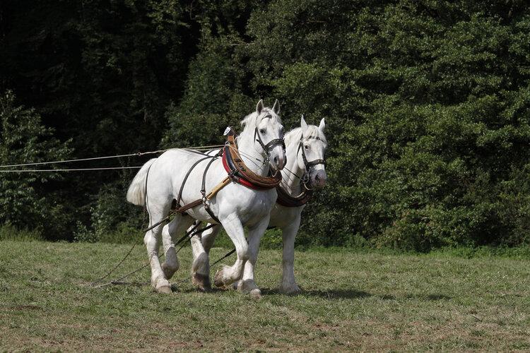 Boulonnais horses running