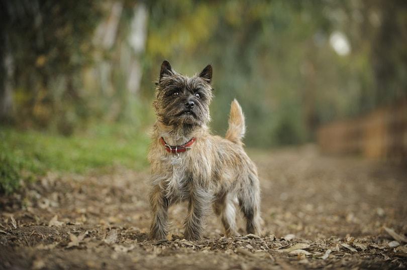 Cairn Terrier_everydoghasastory_Shutterstock