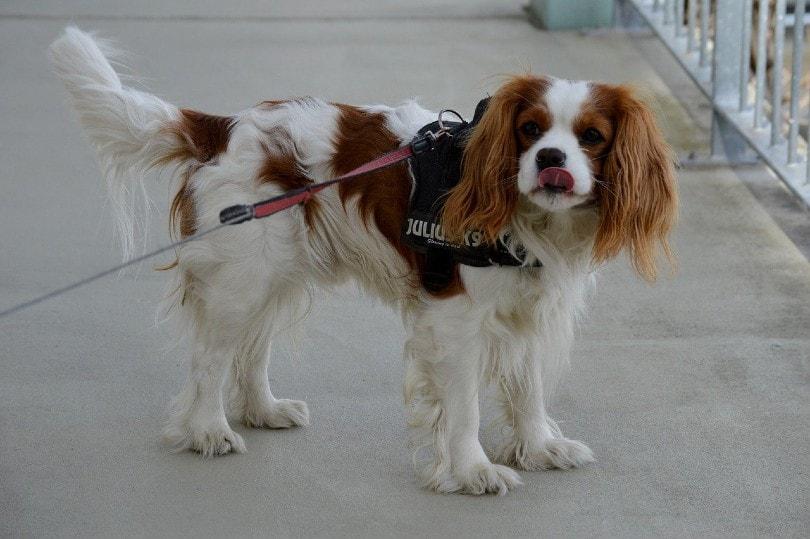 Cavalier King Charles Spaniel Dog_Alexas_Fotos, Pixabay