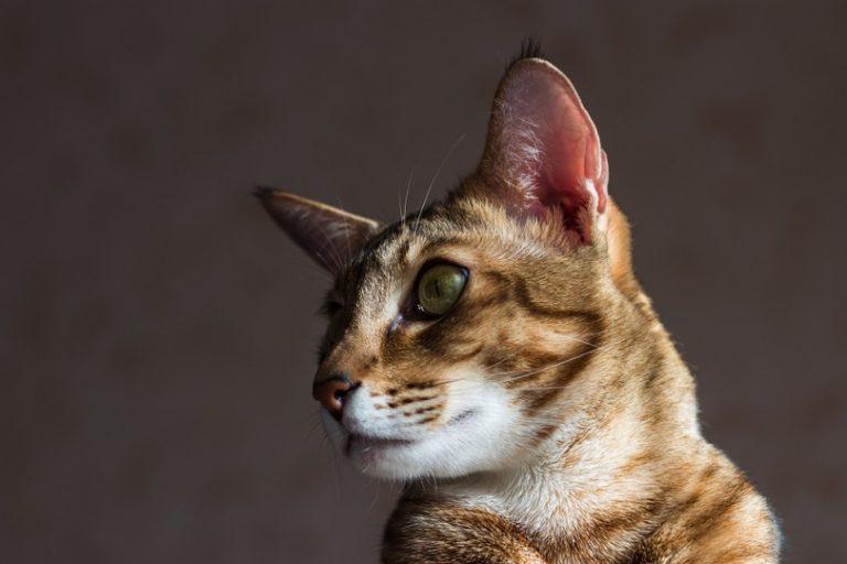 Chausi cat_shutterstock_flightofdeath.jpg