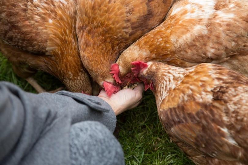 Chickens-Eating-Food_Rachel-Moon_shutterstock