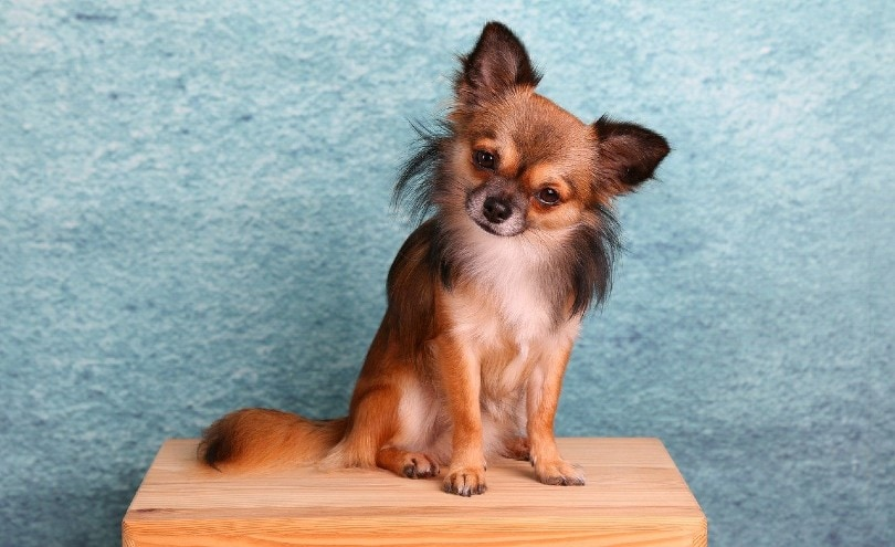 Chihuahua_HG-Fotografie, Pixabay