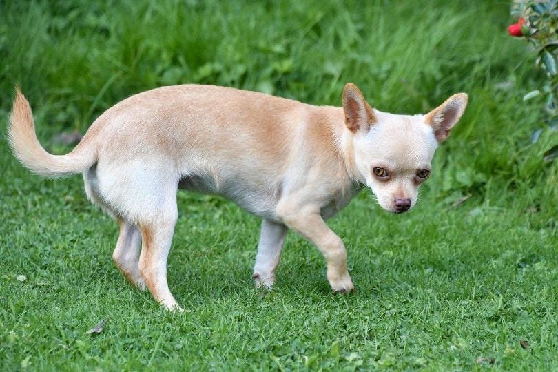 Chihuahua_Christel SAGNIEZ, Pixabay