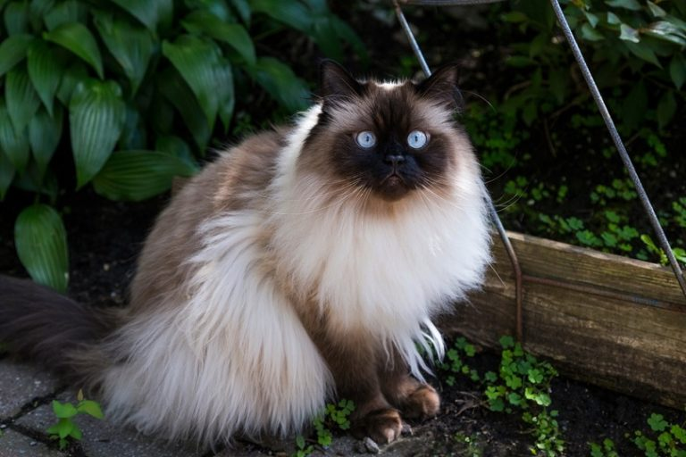 Chocolate-point-doll-faced-himalayan-cat_Anne-Richard_Shutterstock