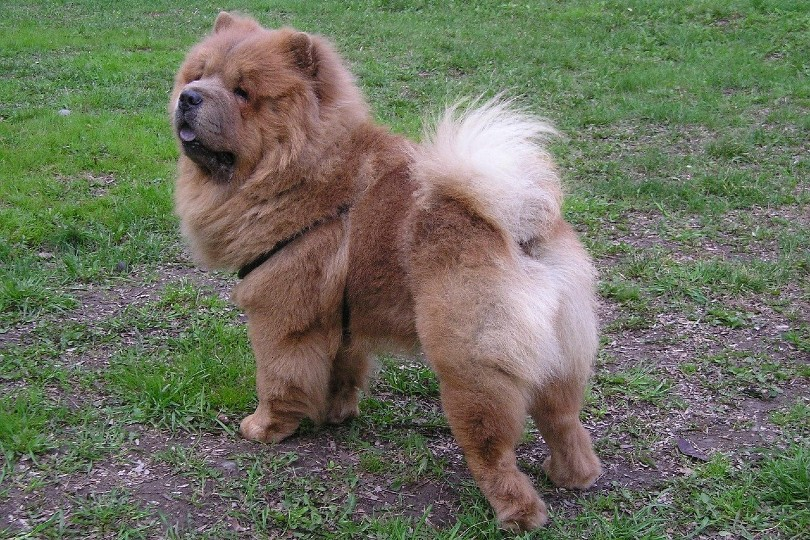 Chow Chow standing outdoor