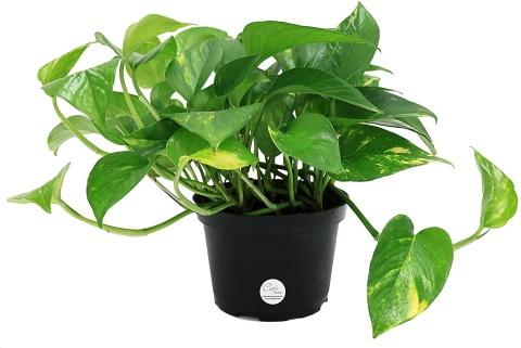 Costa Farms Easy Care Devil's Ivy Golden Pothos_Amazon