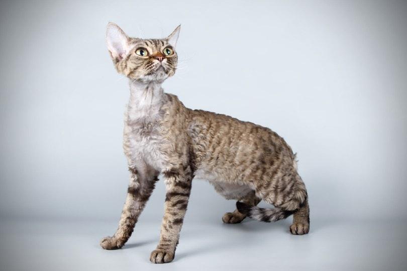 Devon Rex cat looking up