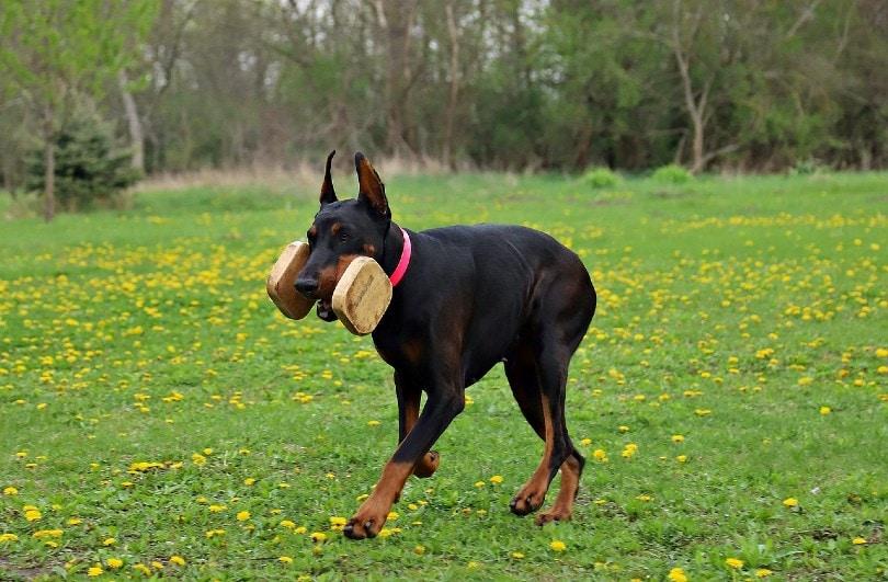 Doberman Pinschers working dog_Yama Zsuzsanna Márkus, Pixabay