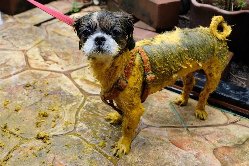 Dog-bath-Using-turmeric_Kawitsara_shutterstock