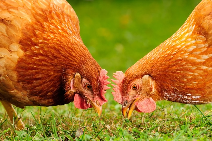Domestic-Chickens-Eating-Grains-and-Grass_Imageman_shutterstock