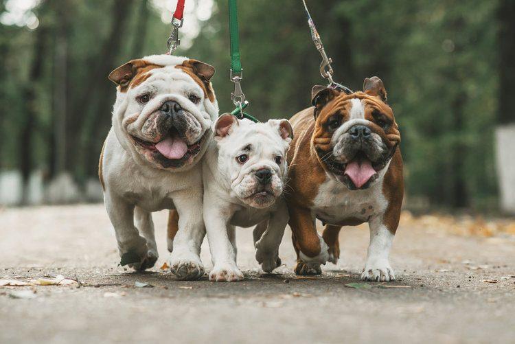 English Bulldog_shutterstock_Ann Tyurina