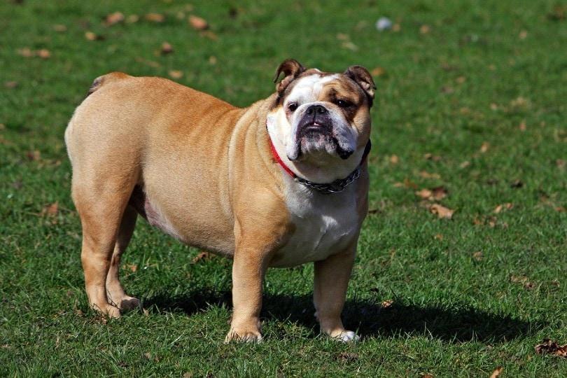 English Bulldogs_No-longer-here, Pixabay