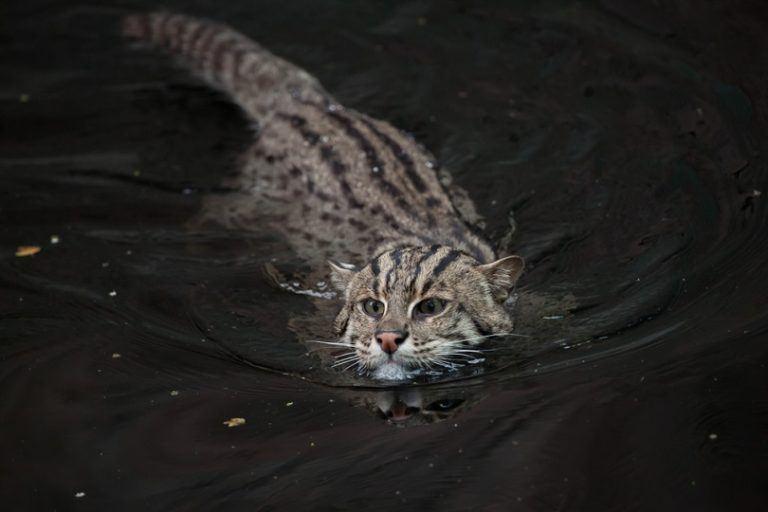 Fishing-cat-Prionailurus-viverrinus_Shutterstock_Vladimir Wrangel