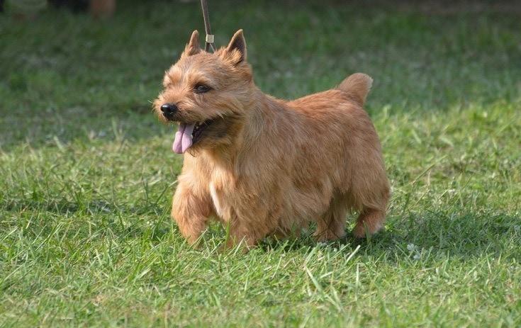 Glen-of-Imaal-terrier_Shutterstock_DejaVuDesigns