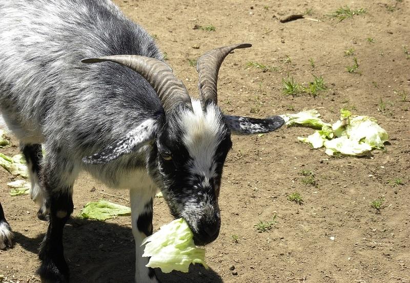 Goat eating veggies